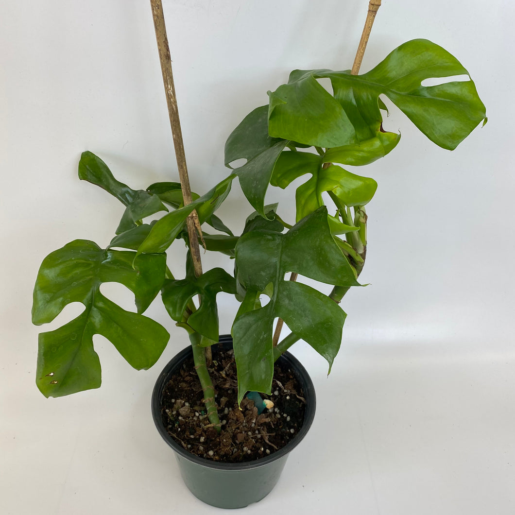 Mini Monstera Ginny (Climbing Monstera)