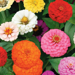 Sow Easy Zinnia- Cut and Come Again