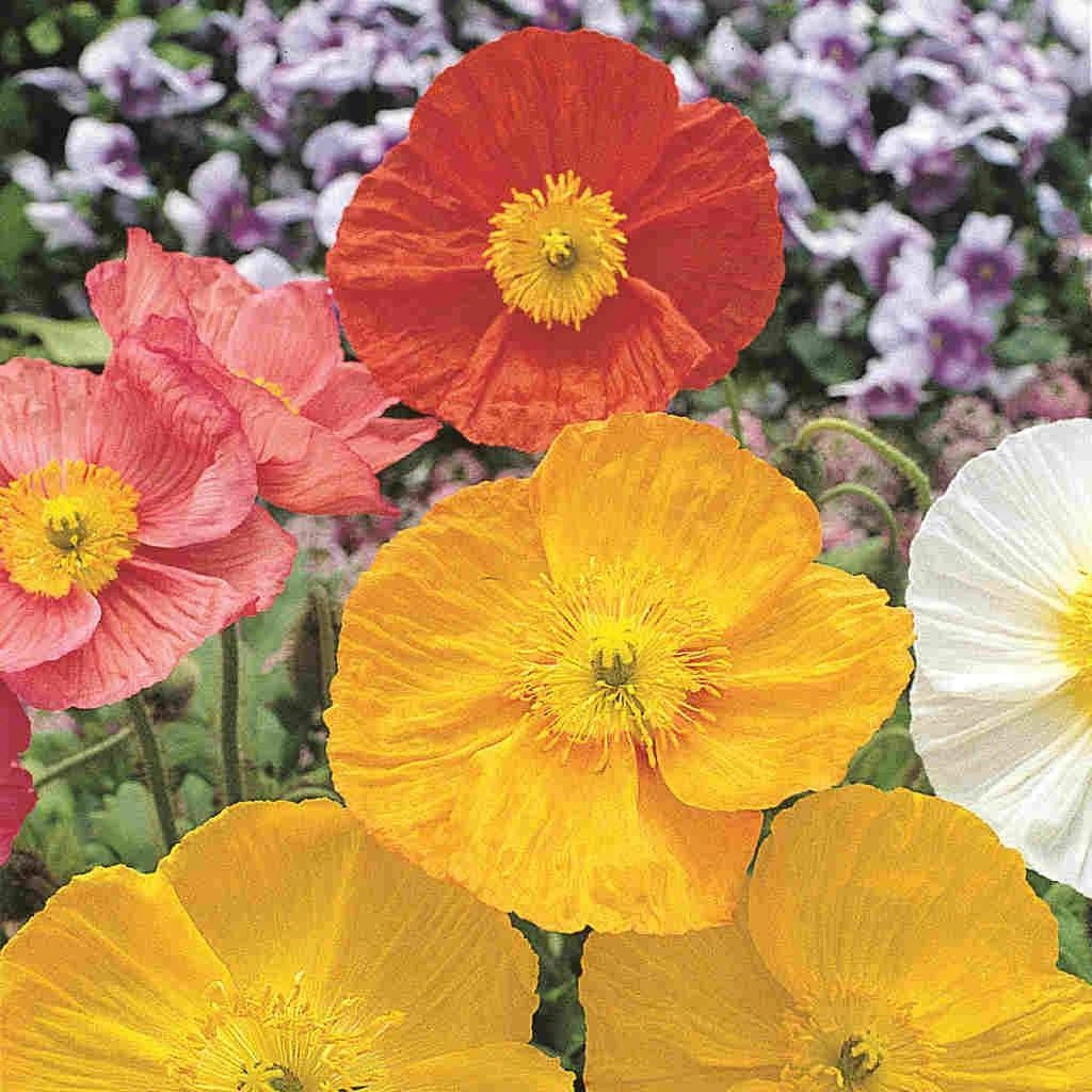 Poppy Iceland Mixed Colors (Perennial)