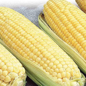 Canadian Early Supersweet Hybrid Corn