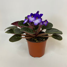 Load image into Gallery viewer, African Violet