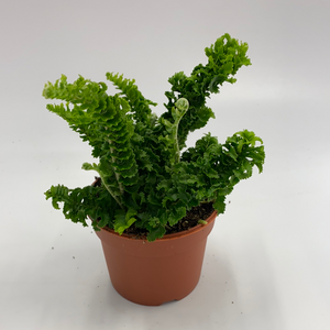 Curly Boston Crinkle Fern