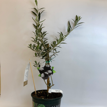 Load image into Gallery viewer, Olive Tree