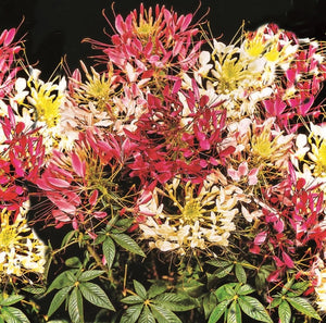 Sow Easy Cleome - Colour Fountain Mix