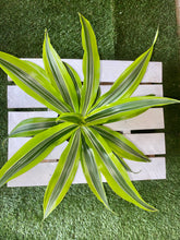 Load image into Gallery viewer, Lemon Lime Dracena