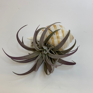 Tillandsia (Air Plant) in Sea Shell
