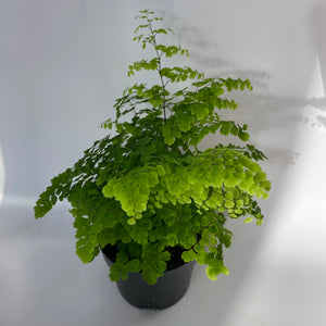 Maiden Hair Fern