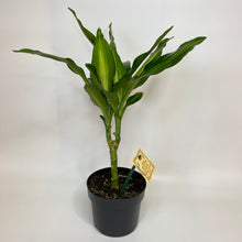 Load image into Gallery viewer, Dracena Cintho