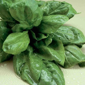 Sow Easy Olympia Spinach (Hybrid)
