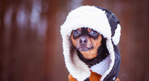 Chihuahua Clothes to Keep Your Pup Warm in Winter and Fall