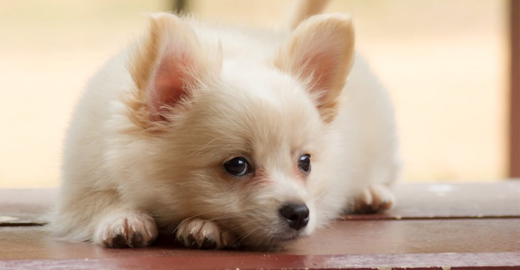 10 Cutest Chihuahua Mixed Breeds