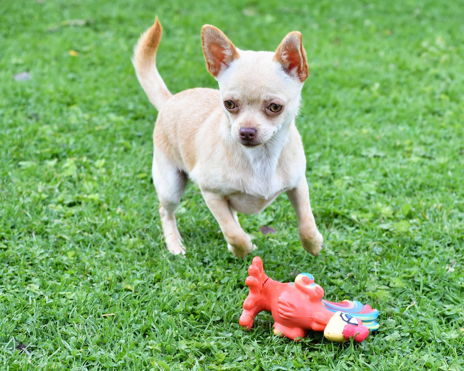 How to Train Your Chihuahua Pup (Helpful Tips and Tricks)