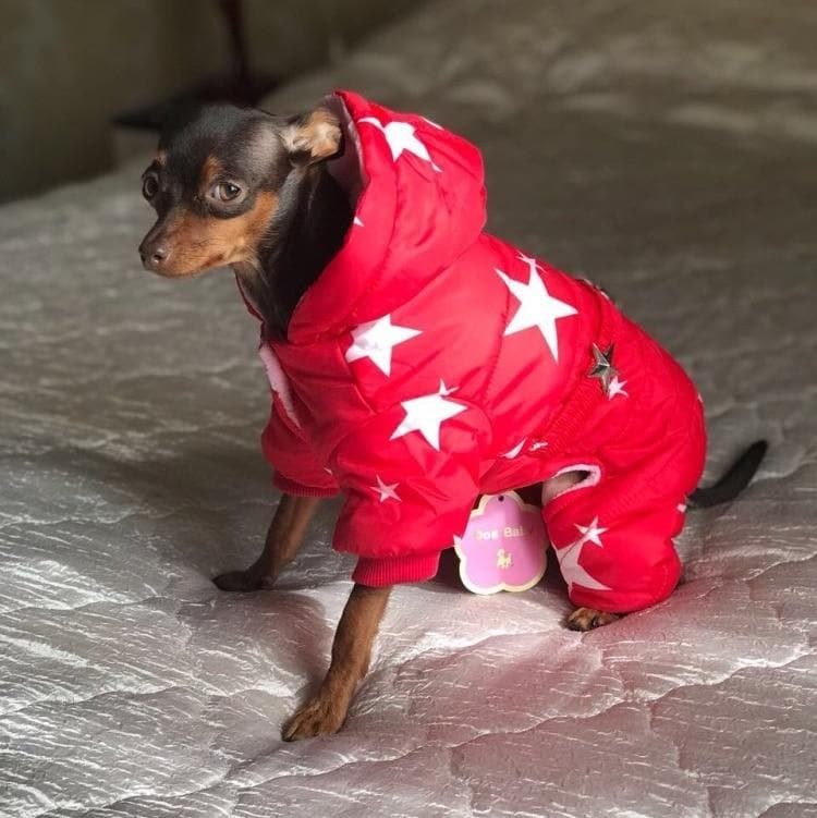 Chihuahua Fancy Jacket - Chihuahua We Love