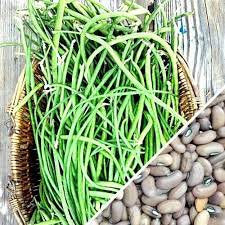 Heirloom Organic Yard Long Asparagus / Green Pod Red Seed Asparagus Bean Seeds