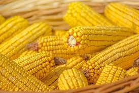 Heirloom Organic Trucker's Favorite Yellow Corn Seeds