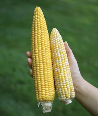 Organic Jaws Sweet Corn Seeds Giant Corn
