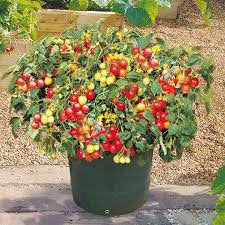 Heirloom Organic Heirloom Organic Tumbler Tomato Seeds (The Best Tomato On Earth For Hanging Baskets)