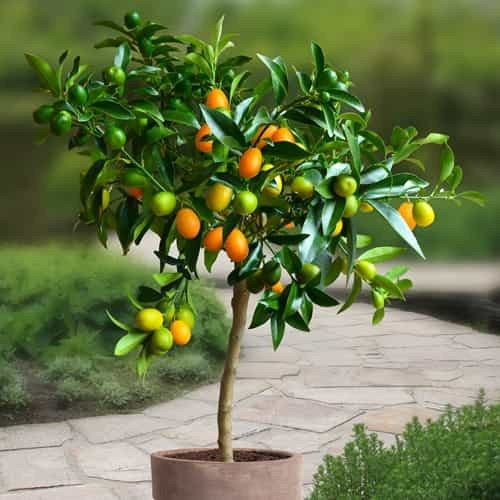 Organic Kumquat citrus tree seeds for sale