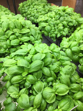 Load image into Gallery viewer, Organic Heirloom Genovese Basil Seeds