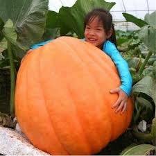 The world's largest pumpkins! Non gmo Organic Dill's Atlantic GIANT Pumpkin seeds pack