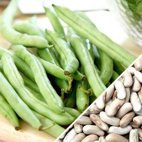 Organic Heirloom Contender Bush Bean (String Bean) Seeds