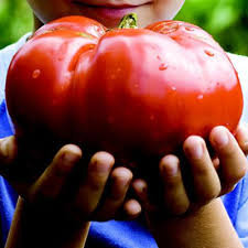 Heirloom Organic GIANT Garden Leader Tomato Seeds