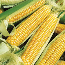 Heirloom Organic Golden Queen Corn Seeds