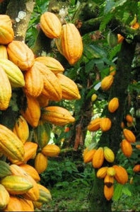 Heirloom Organic Theobroma Cacao Tree Seeds (Chocolate Tree, Cocoa Bean Tree) Raw Food Grade Dry