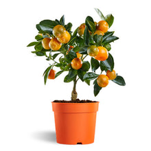 Load image into Gallery viewer, Organic Kumquat citrus tree seeds for sale
