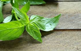 Heirloom Organic Lemon Basil Seeds