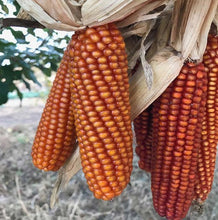 Load image into Gallery viewer, Heirloom Organic Orange Asian Waxy Chinese Corn Seeds