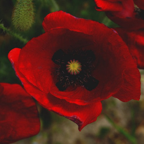 Heirloom Red Corn Poppy Seeds (aka Remembrance Poppy, Flander's poppy, Field Poppy)