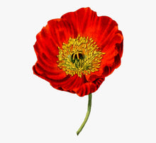 Load image into Gallery viewer, Heirloom Red Corn Poppy Seeds (aka Remembrance Poppy, Flander's poppy, Field Poppy)