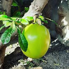 RARE Organic Heirloom Calabash Fruit Tree Seeds