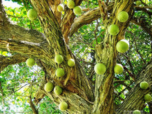 Load image into Gallery viewer, RARE Organic Heirloom Calabash Fruit Tree Seeds