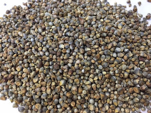 RARE ENDANGERED Dagbon Grey Millet Seeds Extremely Rare Endangered Plant Species