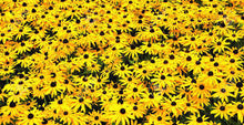 Load image into Gallery viewer, Heirloom Organic Black-eyed Susans Flower Seeds