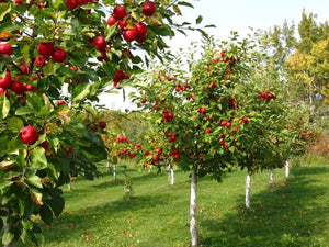 Organic Red Jonathan Apple Tree Seeds Aka Malus domestica !Fast growing trees! Live plants and seedlings for sale on site
