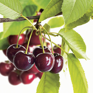 Heirloom Black Tartarian Cherry Tree Seeds   aka Prunus avium and many other fruit trees and exotic plants live and rare seeds