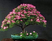 Load image into Gallery viewer, Organic Mimosa Tree Seeds aka Silk tree, Albizia julibrissin, Silky acacia, Persian silk tree, Pink Silk dwarf bonzai or giant ornamental!