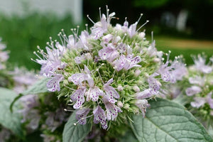 Cherokee Sweet Mint Seeds Hoary Mountainmint Seed - Pycnanthemum incanum