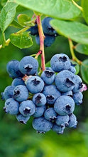 Load image into Gallery viewer, Organic Heirloom Blueberry Bush Seeds - Perfect for potting for urban gardening or apartment plants or beautiful decor for landscaping!