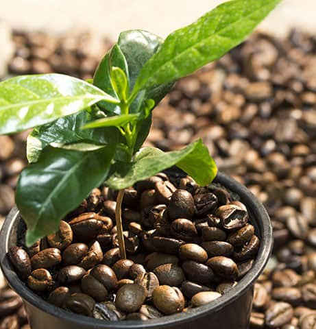 Organic Coffee Bean Tree Seeds  Arabica perfect office or house plants! seedlings available check website for details