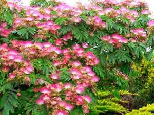 Organic Mimosa Tree Seeds aka Silk tree, Albizia julibrissin, Silky acacia, Persian silk tree, Pink Silk dwarf bonzai or giant ornamental!