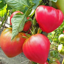 Load image into Gallery viewer, Rare Heirloom Organic Abakansky Pink Tomato Seeds  Aka Ukrainian Cold Tolerant Tomato Seeds