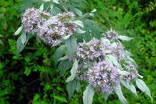 Load image into Gallery viewer, Cherokee Sweet Mint Seeds Hoary Mountainmint Seed - Pycnanthemum incanum