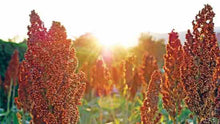 Load image into Gallery viewer, Heirloom Organic Rox Orange Sugar Cane Seeds  aka bicolor Sorghum