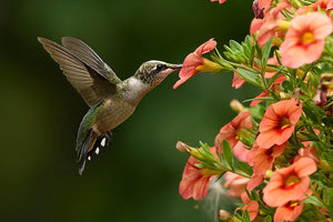 Organic Hummingbird Nectar for hummingbird feeders and bird feeders