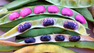 Heirloom Organic Scarlet Runner Bean Seeds