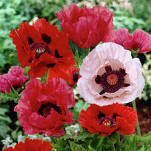 Load image into Gallery viewer, Heirloom Mixed Oriental Poppy Seeds